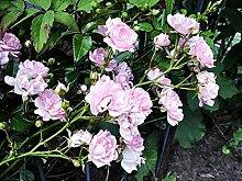 1 Stück Bodendeckerrose 'The Fairy' (Rosa