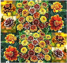 1 Unze: Zinnia Samen - Zinnia Persischer Teppich