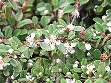1 x Cotoneaster dammeri 'Frieders Evergreen'
