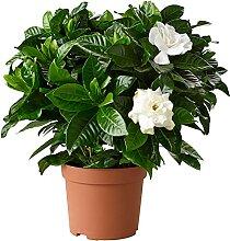 1 X Gardenie - Gardenia jasminoides: GESUNDE
