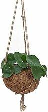 1 x Kokodama Pilea Peperomioides (Pfannkuchen Pflanze)