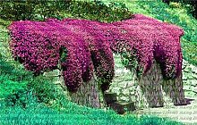 10: 100 Teile/beutel Creeping Rock Kresse Thymian