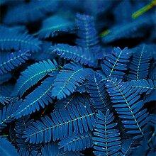 10/20 / 50PcsUnique Blue Mimosa Pudica Samen