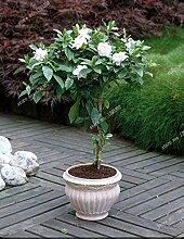 10 / BAG Cape Jasmin Samen, duftend Exotic Strauch - offen bestäuben selten schönen Bonsai Blumensamen