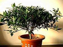 10 Gardenia Seeds (Cape Jasmin) -DIY
