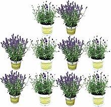 10 Lavendel-Pflanzen im Set (12 cm Ø-Topf):