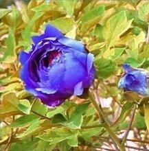 10 Particle / bag Blaue Pfingstrosen-Blumen-Samen Seltene Paeonia Topfhausgarten Pflanze, New Harvest Echt Samen, freies Verschiffen 12
