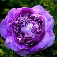 10 Particle / bag Blaue Pfingstrosen-Blumen-Samen Seltene Paeonia Topfhausgarten Pflanze, New Harvest Echt Samen, freies Verschiffen 8