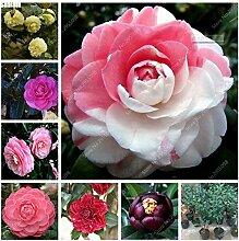 10 PC / bag japanische Kameliensamen Exotische Blooming Bonsai Topf Garten Staude für Blumentopf Pflanz Importierte
