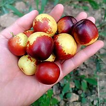 10 PC / bag Riese Red Jujube Samen Köstliche Ernährung Fruchtsamen seltene exotische Bonsai Topf Geschenk Pflanze Dekoration Haus und Garten 2