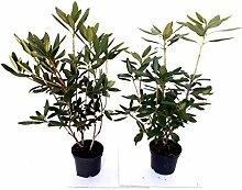 10 Rhododendron Roseum Elegans, Höhe: 50-60 cm ab