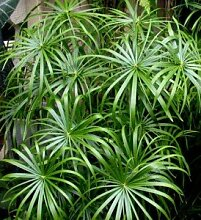 10 Samen Echter Cyperus PAPYRUS, Ägypt. Papierpflanze, Zypergras,