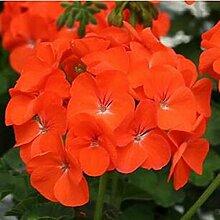 10 Samen / pack Weiße Hydrangea-Blumensamen,