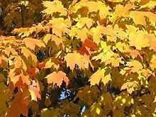 10 Samen von Acer Saccharum Zucker-Ahorn Baum