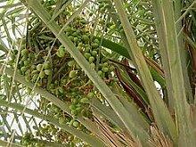 10 Samen von Edible Dattelpalme P35 (Phoenix