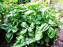 10 Samen von Ocimum Basilicum Basilikum-Krau