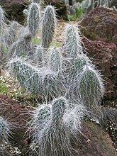10 Samen von Opuntia Erinacea Ursina Grizzlybär
