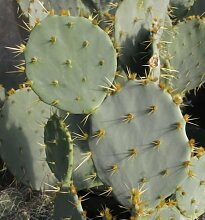 10 Samen von Opuntia orbiculata Feigenkaktus