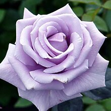 10 Sterling Silber Edelrose Rosen-Samen
