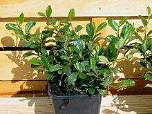 10 Stück Cotoneaster dammeri radicans *