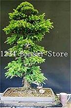 10 Stück der japanische Zeder Bonsai Schöne