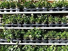 10 Stück Efeu Hedera helix 20-35 cm Heckenpflanze