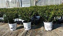 10 Stück Ilex crenata Stokes Heckenpflanze 20 cm