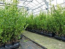 10 Stück Ilex Impala Heckenpflanze Buchsbaum