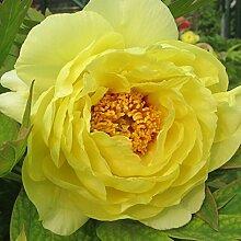 10 Stück Sommer Blühende Pfingstrosenblüten