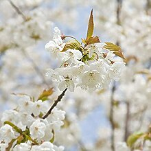 10 Stück Weiße Sakura-Samen Kirschblüten