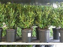 10 StückBuchsbaum Stauch 50cm +/- Buxus sempervirens ,immergrüne Pflanze