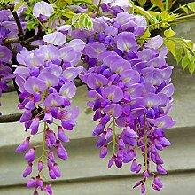 100 Stücke Royal Empress Baum Blumensamen Einfach Wachsen Gartenpflanze Decor/_E