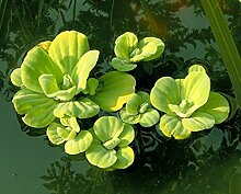 10 StückMuschelblumen (Pistia stratiotes) - Schwimmpflanze Teichpflanzen Teichpflanze