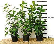 10 x Hecken-Pflanze Kirschlorbeer Novita 50-70 cm