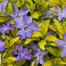 10 x Vinca minor 'Imagine/Illumination'
