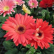 100 / 200Pcs Gerbera Daisys Seeds Easy Grow