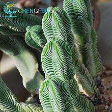 100+ Aztekium valdezii sehr ungewöhnliche Kaktus frische Samen Garten-Dekoration Bonsai Blütenpflanzen Samen * für Lila Hause Topf