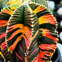 100+ Aztekium valdezii sehr ungewöhnliche Kaktus frische Samen Garten-Dekoration Bonsai Blütenpflanzen Samen * für zu Hause Topf Grün