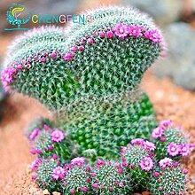 100+ Aztekium valdezii sehr ungewöhnliche Kaktus frische Samen Garten-Dekoration Bonsai Blütenpflanzen Samen * für zu Hause Topf Gelb