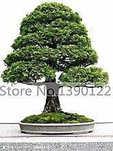 100 / bag Zypressen Samen Bonsai Zypresse Baumsamen Mini Bonsai PlantsTree für Heimtextilien