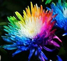 100 echte Regenbogen-Chrysantheme-Blumen-Samen,