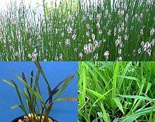 100 Filterpflanzen im Sortiment Teichpflanzen Teichpflanze Filterpflanzen