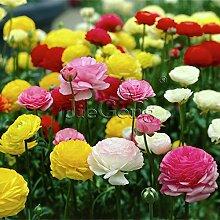 100 Freesias Samen, herrlich DIY Garten bunt & duftend Schnittblumen Blume Pflanze, Haus, Hof, Balkon Dekoration