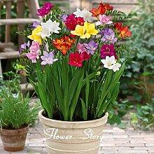 100 Freesias Samen, herrlich DIY Garten bunt & duftende Blume Pflanze, ideal dekorative Blume