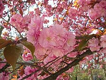 100 Japanische Kirsche Sakura Samen Prunus