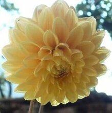 100 Partikel / bag Dahlia Seeds - Pompon ~ Schöne Gärten, herrliche Blume, 15 Farbmisch Samen, Hausgarten 10