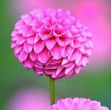 100 Partikel / bag Dahlia Seeds - Pompon ~ Schöne Gärten, herrliche Blume, 15 Farbmisch Samen, Hausgarten 3