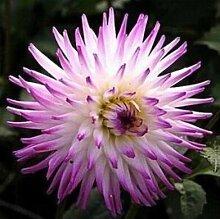 100 Partikel / bag Dahlia Seeds - Pompon ~ Schöne Gärten, herrliche Blume, 15 Farbmisch Samen, Hausgarten 9