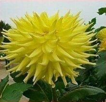 100 Partikel / bag Dahlia Seeds - Pompon ~ Schöne Gärten, herrliche Blume, 15 Farbmisch Samen, Hausgarten 6