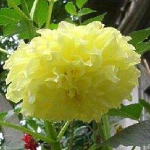 100 Partikel / bag Dahlia Seeds - Pompon ~ Schöne Gärten, herrliche Blume, 15 Farbmisch Samen, Hausgarten 14
